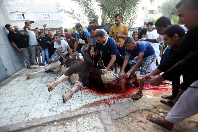 Palestinians slaughter a calf during the Muslim festival of Eid al-Adha in Khan Younis in the southern Gaza Strip September 12, 2016. (Photo by Ibraheem Abu Mustafa/Reuters)