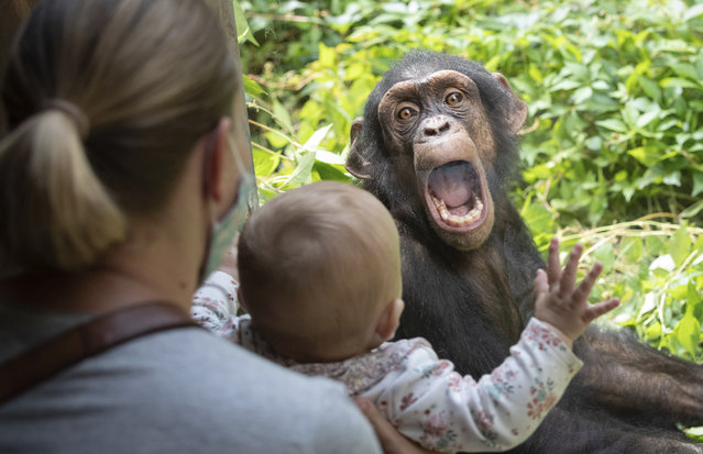 A chimpanzee in the Osnabrück Zoo in Lower Saxony makes contact with a small zoo visitor sitting in front of a pane on September 1, 2020. The two males Lobo and Lome moved from Leipzig Zoo to Osnabrück Zoo to strengthen the social structure of the existing group. (Photo by Friso Gentsch/dpa)