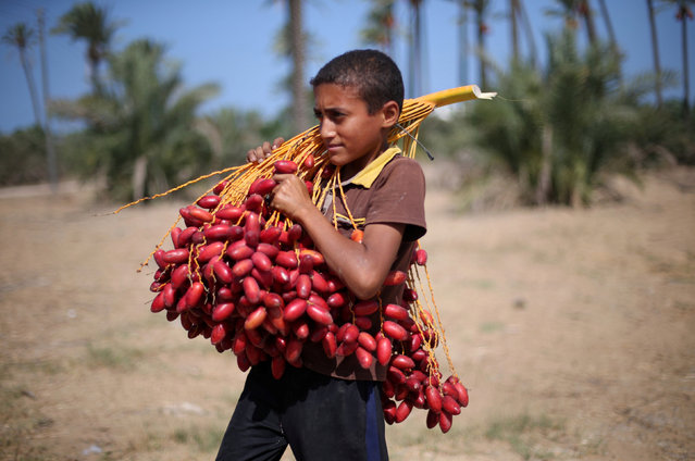 A Palestinian boy carries dates from palm trees during harvest season in southern Gaza September 25, 2016. (Photo by Ibraheem Abu Mustafa/Reuters)
