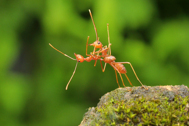 Two weaver ants otherwise known as fire ants dancing together, Bata, Indonesia, March, 2016. (Photo by Usman Priyona/Barcroft Images/Comedy Wildlife Photography Awards 2016)