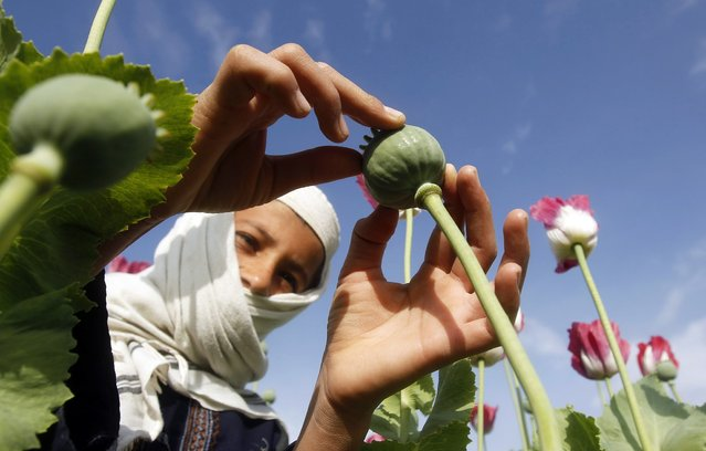 A boy works at a poppy field in Jalalabad province April 7, 2013. (Photo by Reuters/Parwiz)