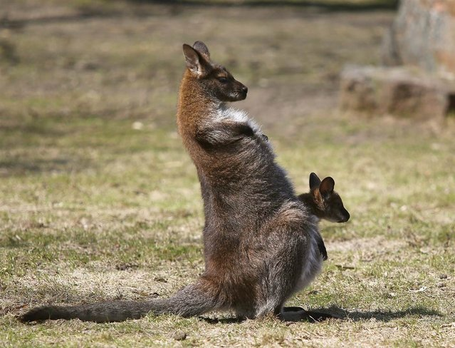 A kangaroo stands with its baby in its pouch at the Zoo in Warsaw, Poland, on April 15, 2013. (Photo by Tomasz Gzell/EPA)