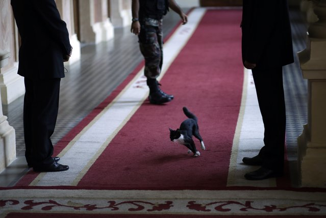 "In this March 20, 2014 file photo, resident cat, ""El dueño de casa"", tears through a government palace corridor as officials await the arrival of U.S. Assistant Secretary of State of the Bureau of Western Hemisphere Affairs Roberta S. Jacobson, for her official meeting with Paraguay's President Horacio Cartes in Asuncion, Paraguay. (Photo by Jorge Saenz/AP Photo)"