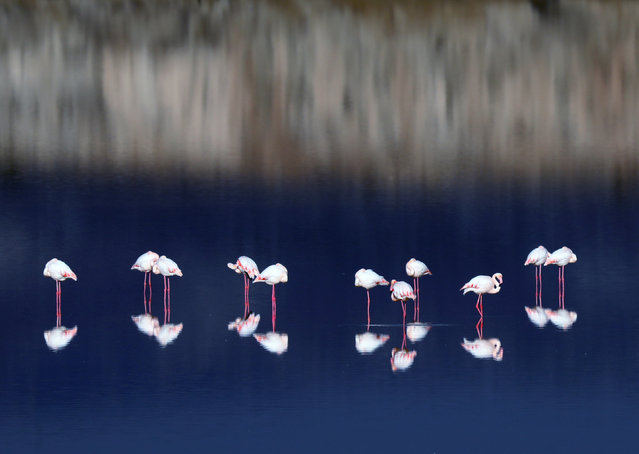 Pink flamingos wade at a salt lake on the outskirts of Larnaca, Cyprus, 26 November 2020. Cyprus is a popular stopping-point on the migration routes of flamingos which migrate from Africa. (Photo by Katia Christodoulou/EPA/EFE)