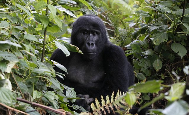 An endangered mountain gorilla from the Bitukura family, rests among vegetation inside a forest in Bwindi Impenetrable National Park in the Ruhija sector of the park, about 550 km (341 miles) west of Uganda's capital Kampala, May 24, 2013. Bwindi Impenetrable Forest borders the Democratic Republic of Congo and Rwanda. The total population of mountain gorillas worldwide is estimated at 880, half of which are to be found in Uganda's Bwindi forest. (Photo by Thomas Mukoya/Reuters)