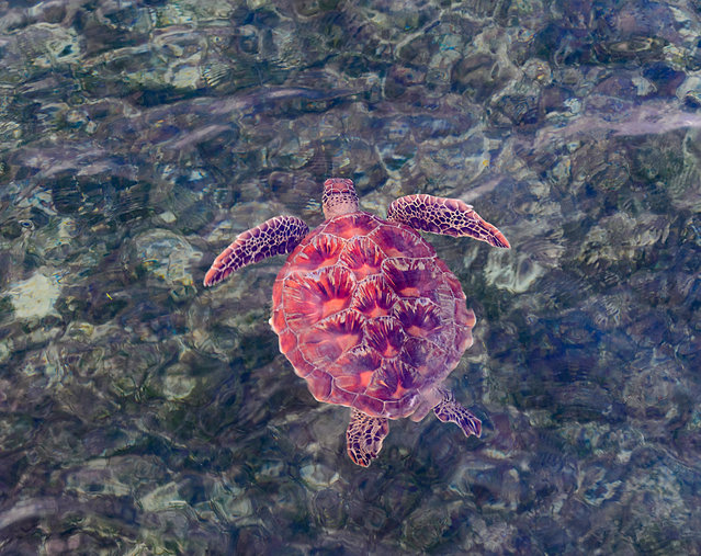 A juvenile female green sea turtle swimming in the Coral Sea, off Queensland, Australia. (Photo by Genevieve Vallee/Alamy Stock Photo)