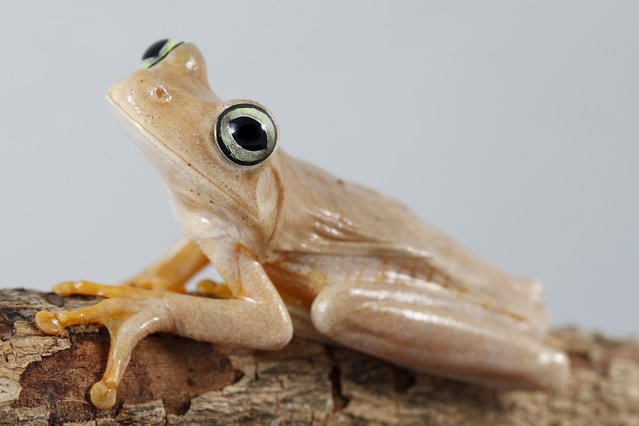 A Hypsiboas crepitans frog is pictured at a terrarium in Caracas November 30, 2015. Venezuelan frogs and toads are in critical danger due to climate change as rising temperatures complicate reproduction and spread a deadly fungus, say scientists, who liken the species to canaries in a coalmine warning of imminent danger. (Photo by Carlos Garcia Rawlins/Reuters)