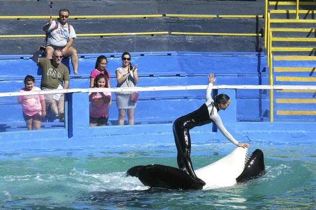 Lolita the Killer Whale and a trainer perform during a show at the Miami Seaquarium in Miami January 21, 2015.  In the coming days the National Oceanic and Atmospheric Administration will decide whether to list Lolita as endangered, clearing the way for groups to pressure the aquarium to retire her from performing and send her back to the waters off Washington state where they will try to reunite her with her family. (Photo by Andrew Innerarity/Reuters)