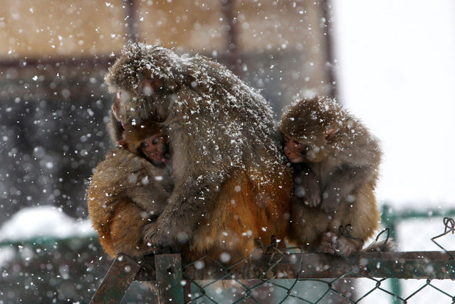 Monkeys huddle together for warmth during snow fall in Tangmarg, some 40 kilometers north of Srinagar, the summer capital of Indian Kashmir, February 3, 2015. According to local reports heavy snows left the National Highway 1A closed, flights cancelled and train services suspended, leaving the whole valley effectively cut off.  (Photo by Farooq Khan/EPA)