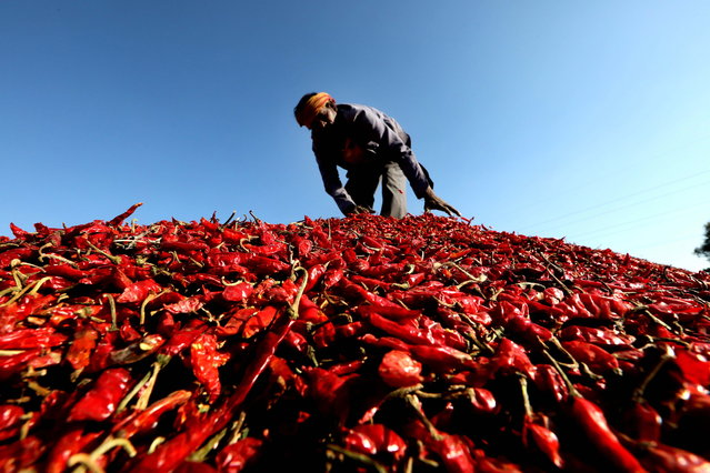 A worker sorts red chillies after harvesting in the fields in Indore, India, 08 February 2021 (issued 09 February 2021). The west region of Nimar in the state of Madhya Pradesh is one of the largest producers of red chillies in India. (Photo by Sanjeev Gupta/EPA/EFE)
