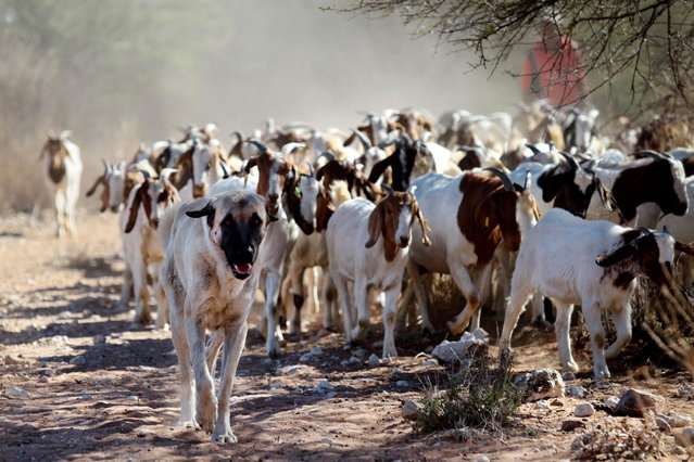 Anatolian Shepherd dog Bonzo (L) leads a herd of goats on Retha Joubert's farm near near Gobabis, east of the capital Windhoek, on August 15, 2013. Five-year old Bonzo is part of the Cheetah Conservation Fund (CCF) which breeds the dogs near northern city Otjiwarongo. The dog's behavior, harnessed in Turkey thousands of years ago, saves sheep and goats. But it has also handed a lifeline to Namibia's decimated cheetah numbers by reducing conflicts between farmers and predators. The center started breeding the livestock dogs to promote cheetah-friendly farming after some 10,000 big cats – the current total worldwide population – were killed or moved off farms in the 1980s. (Photo by Jennifer Bruce/AFP Photo)