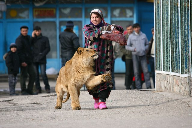 Zukhro, an employee of a Russian city zoo, walks with Vadik, an 18-month-old male lion. (Photo by Reuters)