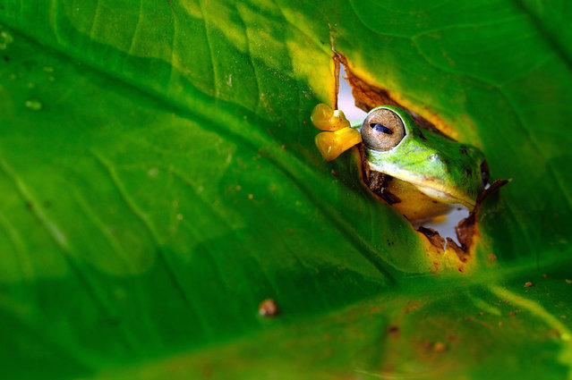 A tree frog peers through a leaf. (Photo by Muntazeri Abdi/Barcroft Images/Comedy Wildlife Photography Awards)