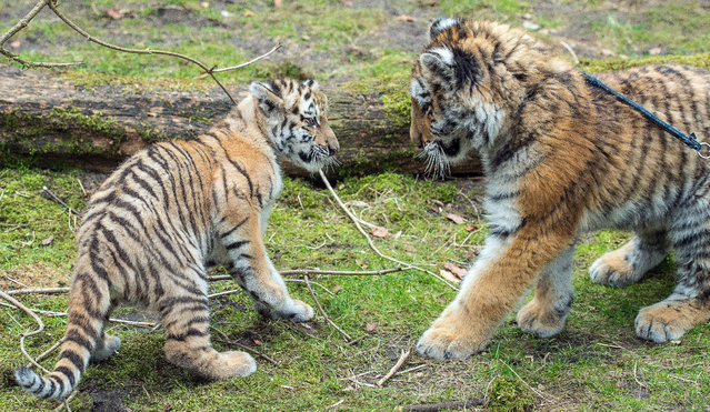 Tiger baby Alisha (L) and Dragan meet each other for the first time on March 10, 2015 at the zoo in Eberswalde, Germany.   AFP PHOTO / DPA / PATRICK PLEUL   (Photo credit should read PATRICK PLEUL/AFP/Getty Images)