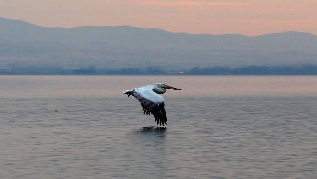 A pelican flies over Dojran Lake, Macedonia, January 4, 2017. (Photo by Ognen Teofilovski/Reuters)