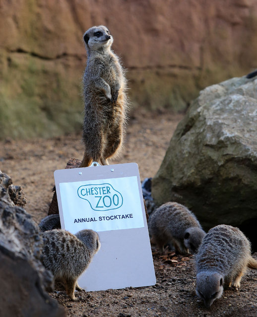 Lucy Edwards lead keeper of Chester Zoo staff, counts the meerkats during an annual stocktake at Chester Zoo, Chester, on January 2, 2013. (Photo by Peter Byrne/PA Wire)