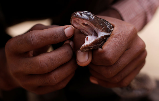 A snake charmer cleans the eyes of his snake in Jogi Dera (snake charmers settlement), in the village of Baghpur, in the central state of Uttar Pradesh, India November 11, 2016. (Photo by Adnan Abidi/Reuters)