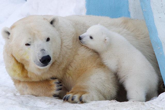 A polar bear named Gerda and a polar bear cub playing in the Novosibirsk Zoo on February 27, 2016. (Photo by Kirill Kukhmar/TASS/Barcroft Media)