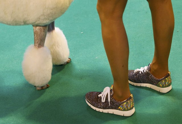 A handler shows a Standard Poodle during the first day of the Crufts Dog Show in Birmingham, Britain March 10, 2016. (Photo by Darren Staples/Reuters)