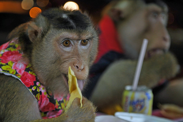 "This photo taken on April 25, 2015 shows a female pet monkey named ""Shaki"" (L) and her partner ""JK"" (R) eating dinner at a restaurant in Kuala Lumpur. (Photo by Mohd Rasfan/AFP Photo)"