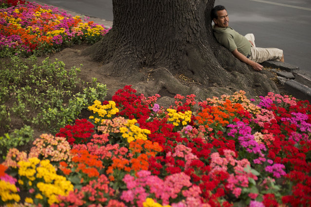 A man rests on a flower-covered median along the Paseo de la Reforma boulevard in Mexico City, Tuesday, April 28, 2015. (Photo by Rebecca Blackwell/AP Photo)
