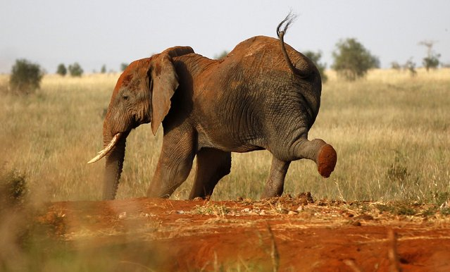 An elephant stretches during their aerial census at the Tsavo West national park within the Tsavo-Mkomazi ecosystem, southeast of Kenya's capital Nairobi, February 4, 2014. The elephant is Kenya's flag-ship species and so its distribution and condition is a good indicator of the status of wildlife. The results help policy makers and park management make sound decisions on resource allocation for security operations and conflict management. (Photo by Thomas Mukoya/Reuters)