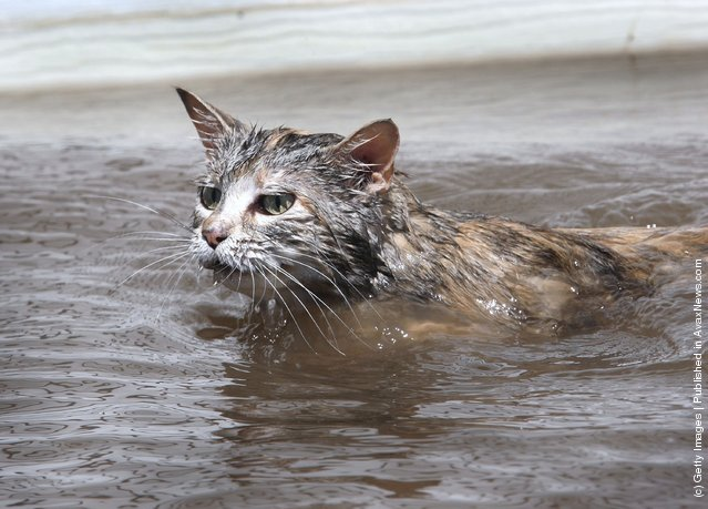 A stranded cat swims through flood water searching for dry land June 16, 2008 in Oakville, Iowa