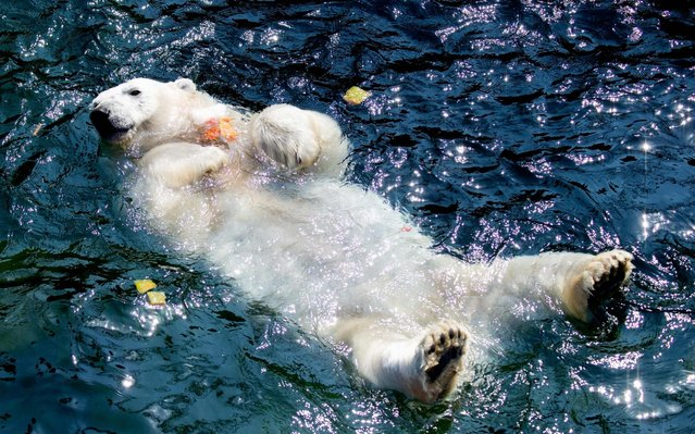"""Polar bear """"Milana"""" holds an ice cake with frozen fruit as she takes a bath in her pool at the zoo in Hanover, northern Germany, where temperatures reached around 33 degrees Celsius on June 26, 2019. Meteorologists blamed a blast of hot air from northern Africa for the heatwave early in the European summer, which could send thermometers above 40 degrees Celsius (104 Fahrenheit) in France, Spain and Greece on Thursday and Friday. (Photo by Hauke-Christian Dittrich/dpa/AFP Photo)"""