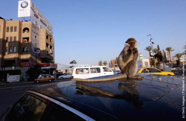 A monkey eats nuts on top of its owner's car
