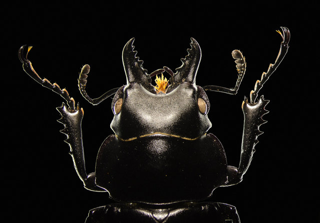 Stag Beetle by Viktor Sykora. The photographer used light microscopy with a magnification of five times. (Photo by Viktor Sykora/2019 Science Photographer of the Year/RPS)