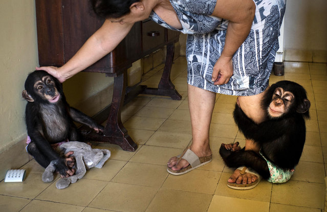 In this April 4, 2017 photo, Zoologist Martha Llanes caresses baby chimpanzee Anuma II, left, while Ada hangs on to her leg, at Llanes' apartment in Havana, Cuba. She has forgiven them every transgression. It's hard to stay angry at a baby chimpanzee when it clambers up your leg and into your arms and plants a kiss on your cheek in a plea for forgiveness. (Photo by Ramon Espinosa/AP Photo)