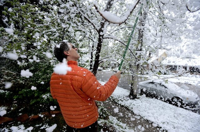 Brian Pryor takes a shower of snow as he clears the tree limbs in front of his home on University Hill in Boulder, Colo., on Monday, May 9, 2014. A spring storm that has brought over a foot of snow to parts of Colorado, Wyoming and Nebraska and thunderstorms and tornadoes to the Midwest was slowing down travelers and left some without power Monday morning. (Photo by Paul Aiken/AP Photo/The Boulder Daily Camera)