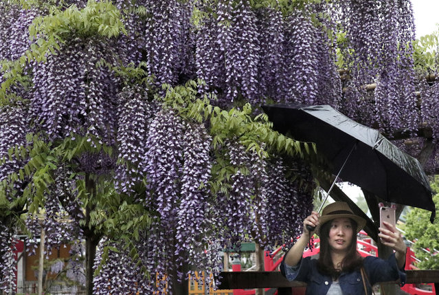 A visitor takes a selfie in front of blooming wisterias at Kameido-tenjin shrine during the annual wisteria festival in Tokyo, Monday, May 1, 2017. The festival runs until May 7. (Photo by Shizuo Kambayashi/AP Photo)