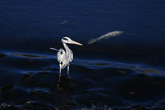 A heron looks for fish in a river in Kumamoto, Japan on December 12, 2019. (Photo by Charly Triballeau/AFP Photo)