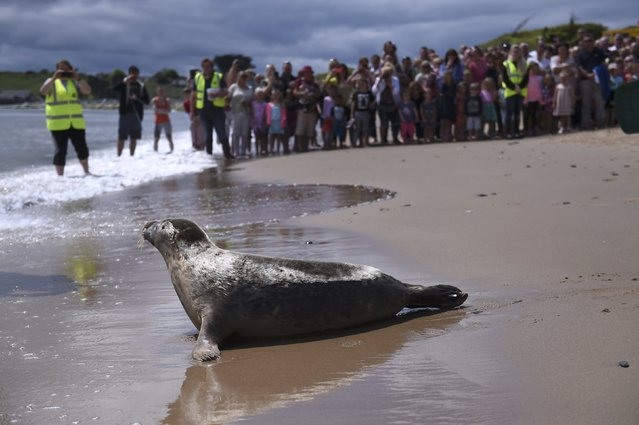A Common Seal named Groot is released on Courtown beach from Seal Rescue Ireland wildlife sanctuary where two rescued and rehabilitated seals are released back into the sea after months of care in Wexford, Ireland, June 12, 2016. (Photo by Clodagh Kilcoyne/Reuters)