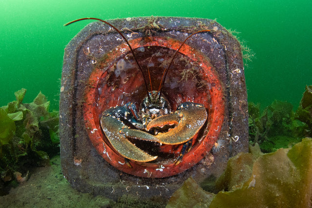 British waters living together category runner-up: Cone Home by Kirsty Andrews (UK) in Loch Fyne, Inveraray, Scotland. A common lobster (Homarus gammarus) using a traffic cone as a handy vantage point to overlook the seabed as well as a shelter on an otherwise relatively flat surface. (Photo by Kirsty Andrews/Underwater Photographer of the Year 2020)