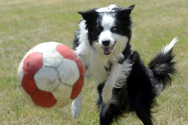 Border Collie Mumpitz plays with a soccer ball on a lawn in Berlin, Germany, Thursday, July 7, 2016. (Photo by Maurizio Gambarini/DPA via AP Photo)