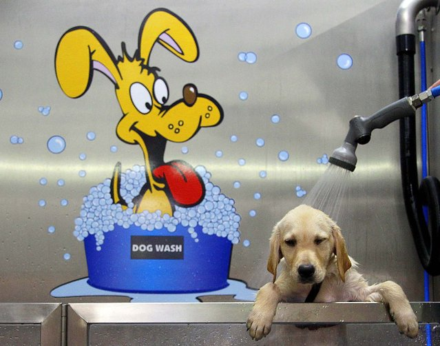 A Labrador Golden Retriever gets a shower at Germany's first Dog Wash in Duisburg, Germany on July 24, 2012. The dog wash, which was installed in a pet store and runs as self service, delivers a shower, shampoo and a hair dry. (Photo by Frank Augstein/Associated Press)