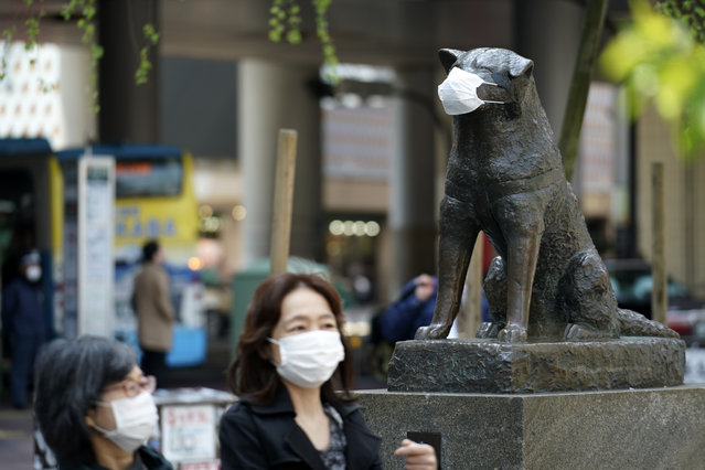 "A statue of a Japanese Akita dog named ""Hachiko"" wearing a face mask is seen near Shibuya Station Wednesday, April 8, 2020, in Tokyo. Japanese Prime Minister Shinzo Abe declared a state of emergency on Tuesday for Tokyo and six other prefectures to ramp up defenses against the spread of the new coronavirus. Hachiko has waited for his owner University of Tokyo Prof. Eizaburo Ueno at the same place by the station every afternoon, expecting him to return home for nearly 11 years even after Ueno's death at work. (Photo by Eugene Hoshiko/AP Photo)"