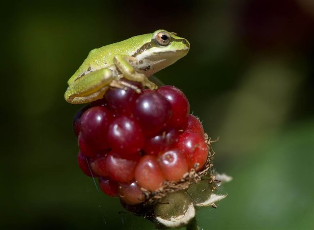 A wild Pacific tree frog perches on an unripe blackberry in Roseburg, Oregon, on August 11, 2012. (Photo by Robin Loznak/msnbc.com)