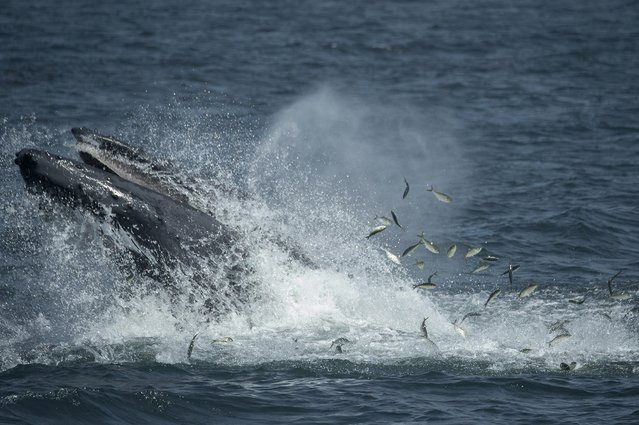 A humpback whale feeds less than six miles from New York City in this handout photo courtesy of The Wildlife Conservation Society taken August 27, 2014. Waters off New York City and the greater New York Bight serve as a feeding ground, nursery, and migratory corridor for many species of marine life including whales, dolphins, sharks, fish, and sea birds, according to The Wildlife Conservation Society. (Photo by Julie Larsen Maher/Reuters/The Wildlife Conservation Society)