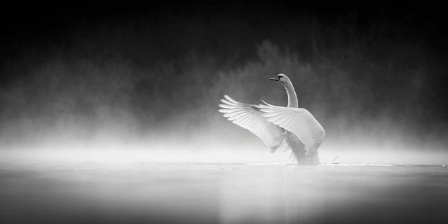 """Swan in Morning Mist"". Commended in the Black and White category. (Photo by Andrew Kaplan/British Wildlife Photography Awards 2014)"