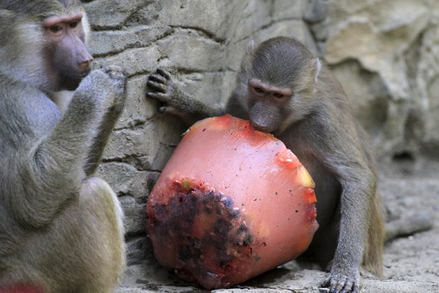 Baboons enjoy frozen fruit during hot weather at a zoo in Cali, Colombia, September 16, 2015. (Photo by Jaime Saldarriaga/Reuters)