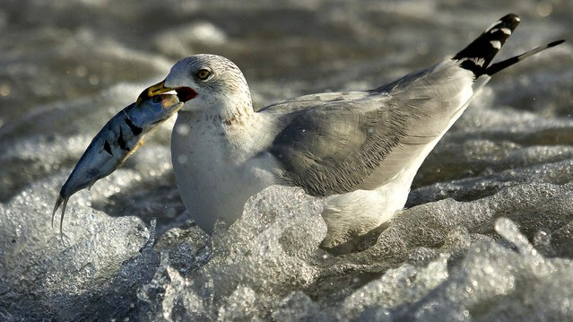 A bird feeds upon one of thousands of dead fish that washed ashore on the south tip of Pawleys Island, S.C., January 16, 2013. The fish are menhaden, a common bait fish. (Photo by Steve Jessmore/The Sun News)