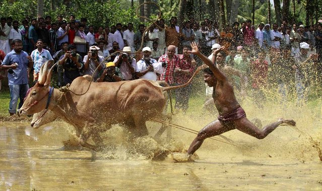 "A farmer loses control over his pair of oxen as they race through a paddy field during the ""Kakkoor Kalavayal"" festival at Kakkoor village, on the outskirts of the southern Indian city of Kochi, February 18, 2013. The post-harvest festival is celebrated by the farmers of Kakkoor and the surrounding villages. (Photo by Sivaram V/Reuters)"