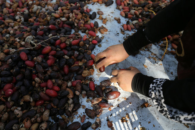 A Palestinian woman sorts freshly picked dates during harvest season in southern Gaza September 25, 2016. (Photo by Ibraheem Abu Mustafa/Reuters)