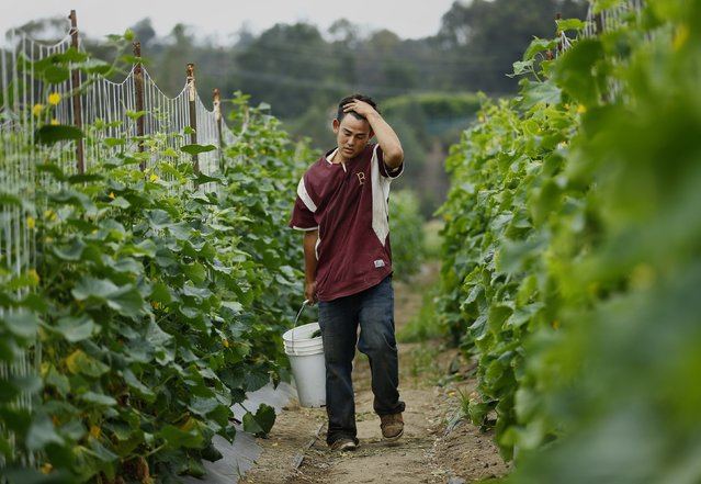 Makoto Chino picks cucumbers on his family's farm in Rancho Santa Fe, California August 12, 2014. (Photo by Mike Blake/Reuters)
