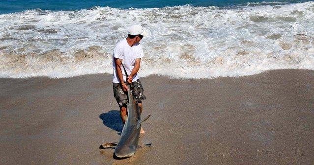 Jorgensen drags the shark back to the water after samples were taken. (Photo by Lannis Waters/Palm Beach Daily News)