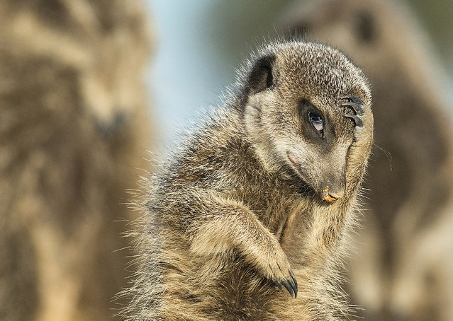 A meerkat appears to look like it's just remembered it needs to be somewhere, Little Karoo, South Africa, May, 2015. (Photo by Brigitta Moser/Barcroft Images/Comedy Wildlife Photography Awards 2016)