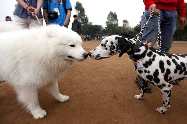 Dogs attend a dog show in Hanoi, Vietnam, on April 14,  2013. The show took place at Dinh Cong stadium in Hanoi. (Photo by Luong Thai Linh/EPA)